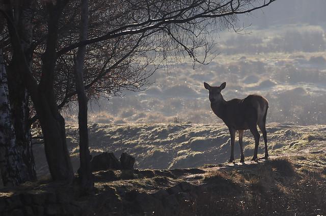 Hind in Morning Light