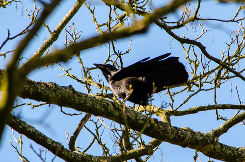 Carrion crow on lichen-encrusted branch, Bantock Park