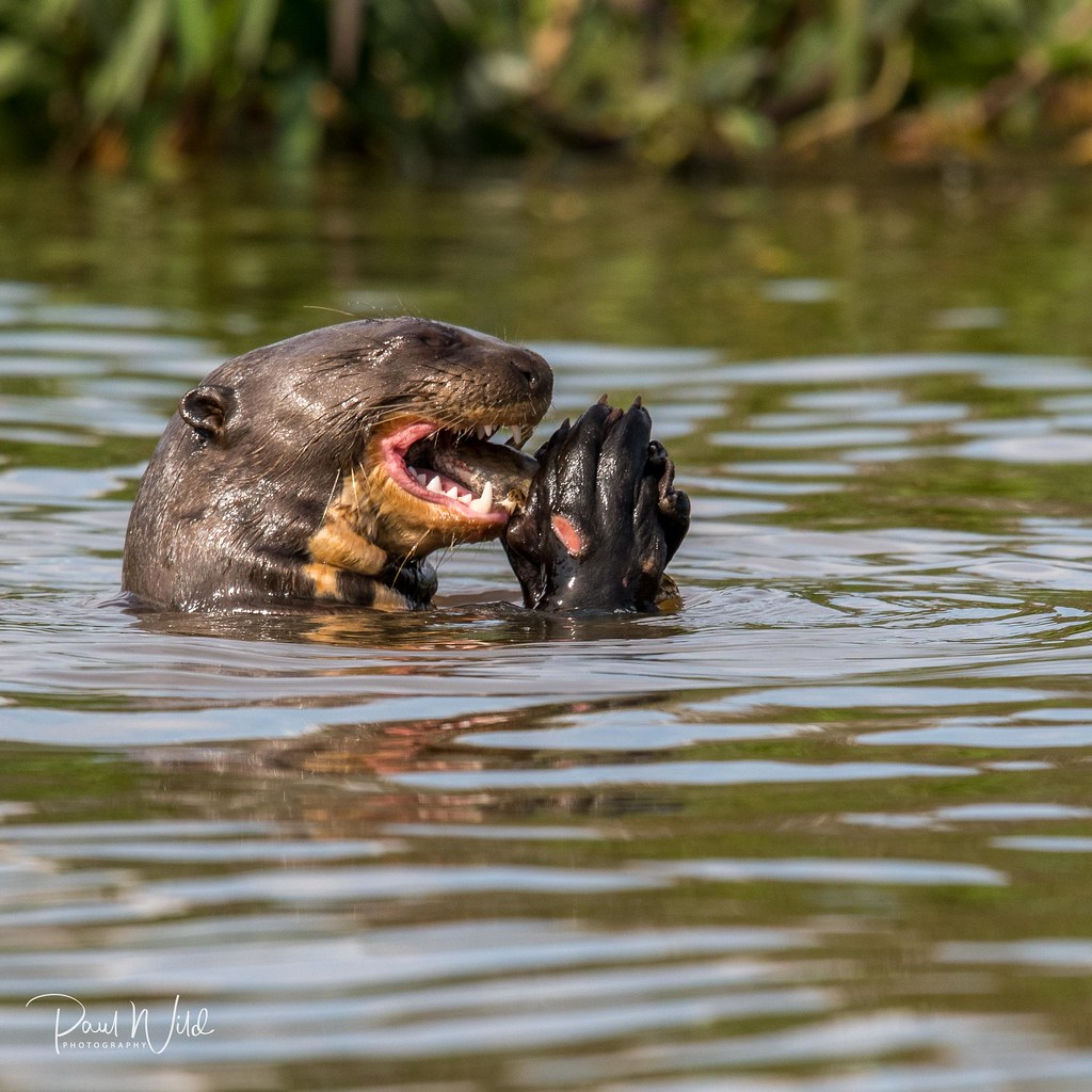 Giant Otter with Fish
