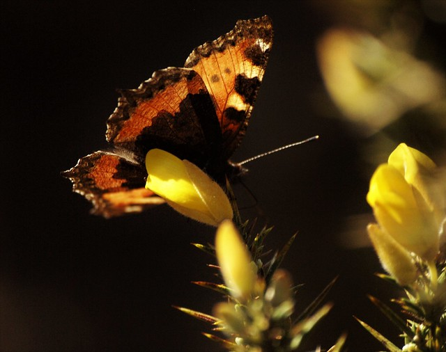 Small Tortoise shell Butterfly on Gorse