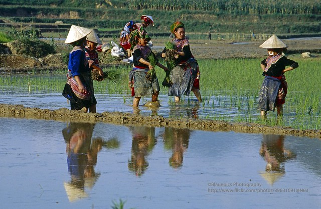 near Bac Ha, Ban Pho, Hmong women field work