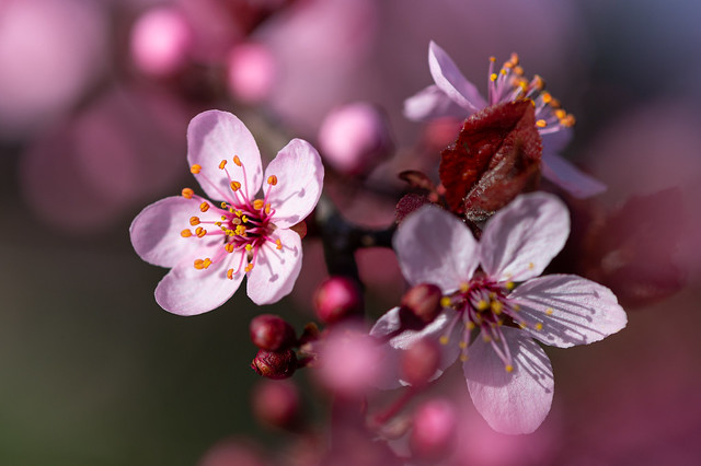 Spring blossoms on a tree - My entry for todays