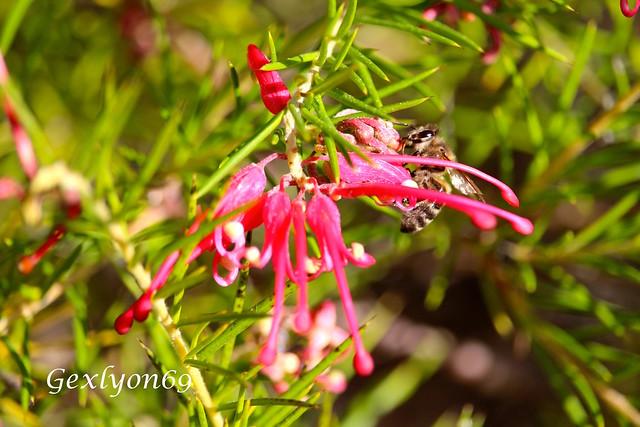 IMG_6595 - Grevillea rosmarinifloria - Provence