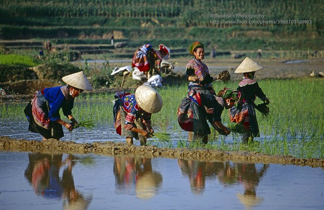 near Bac Ha, Ban Pho, Hmong farmer ladies