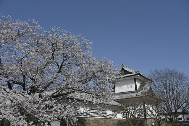 金沢桜満開その3
