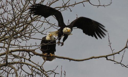 Urban Bald Eagles hanging out on a tree nearby