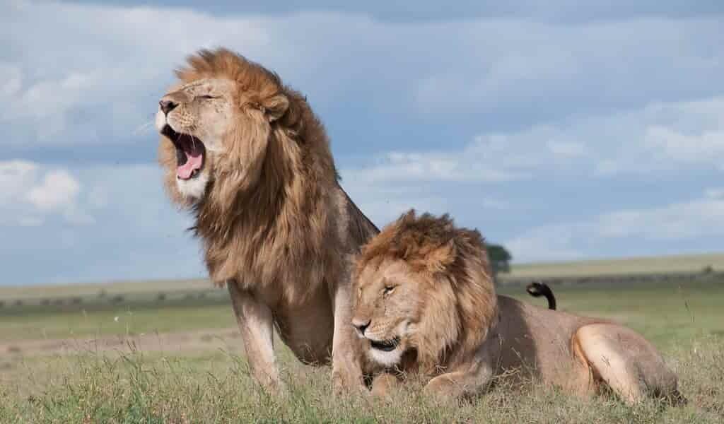 Les lions utilisent les bâillements pour communiquer