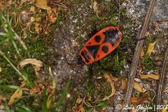 Pyrrhocoris apterus (Linnaeus, 1758)