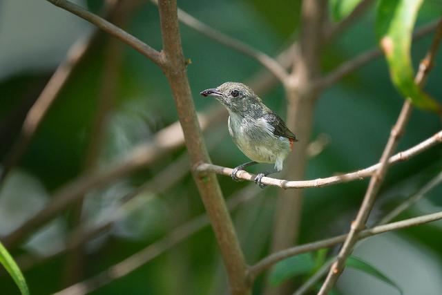 210330 -  Scarlet-backed Flowerpecker (朱背啄花鸟)