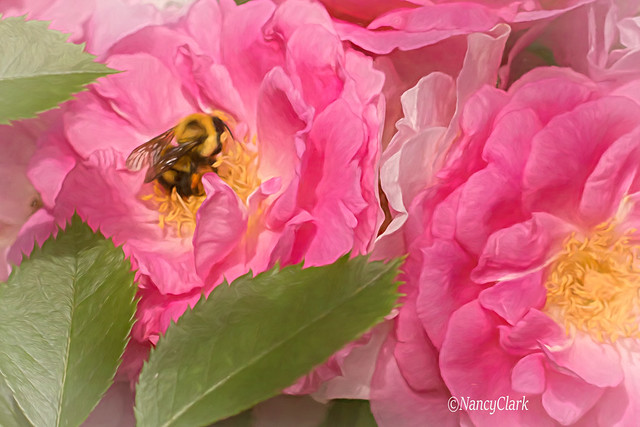Bee and roses