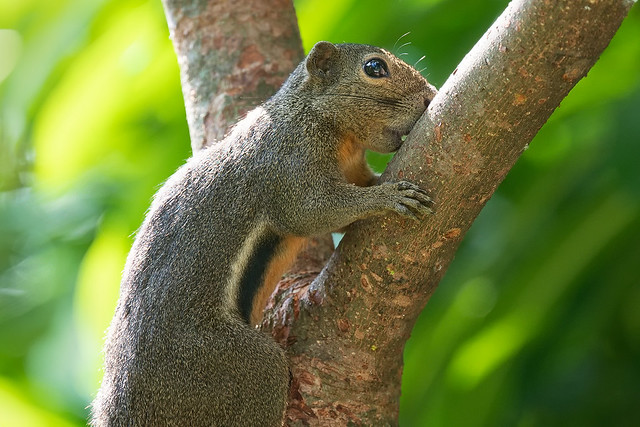 210330 - Plantain Squirrel