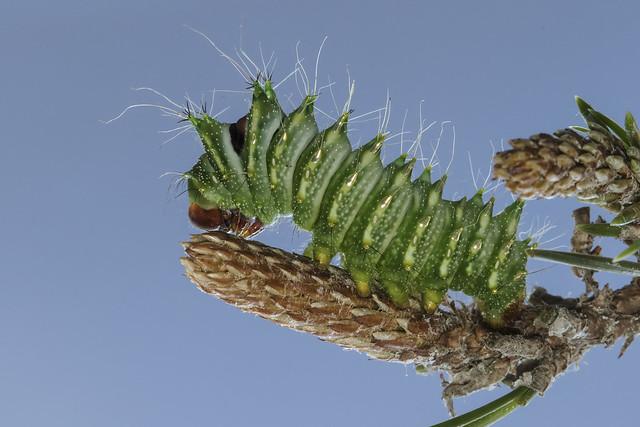 Actias dubernardi, Chinese Luna Moth Caterpillar on Pine
