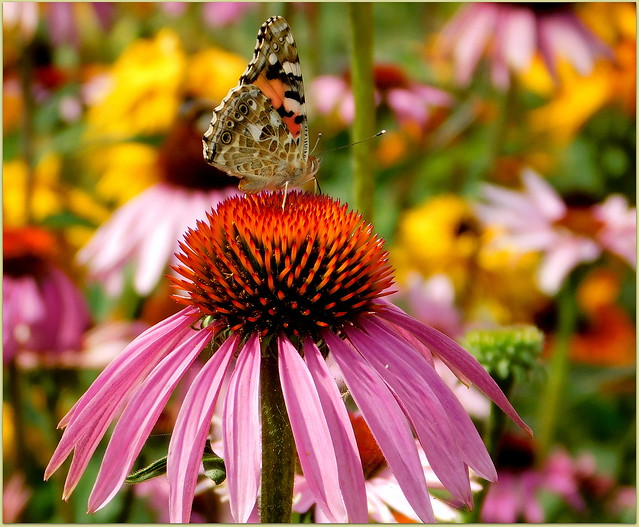 Jeżówka i motyl * EXPLORE