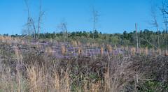 Purple ground flowers near Garvin