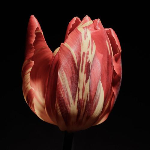 Tulip = spring