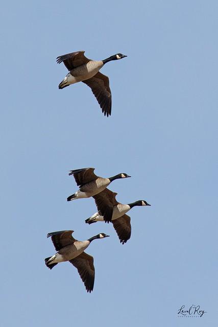 1.00272 Bernache du Canada / Branta canadensis interior / Canada Goose
