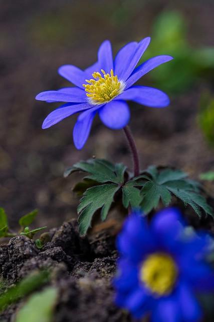 Eine hübsche Frühlingsblume