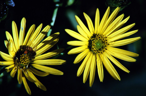 Yellow Flowers with Bee (2)