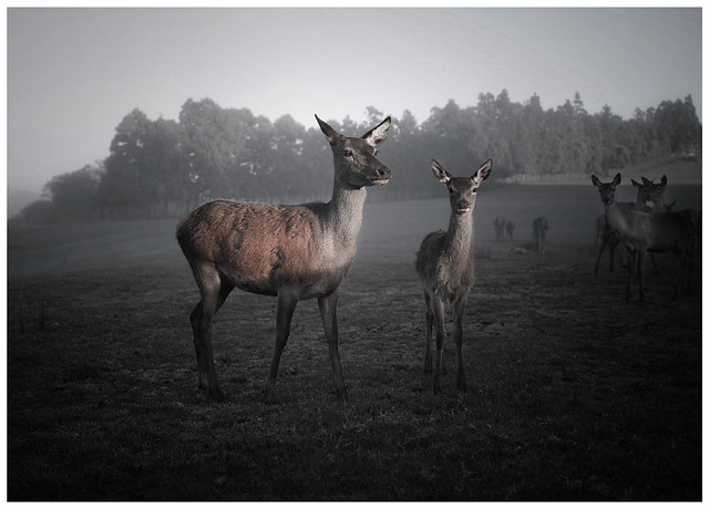 Deer @ sunrise