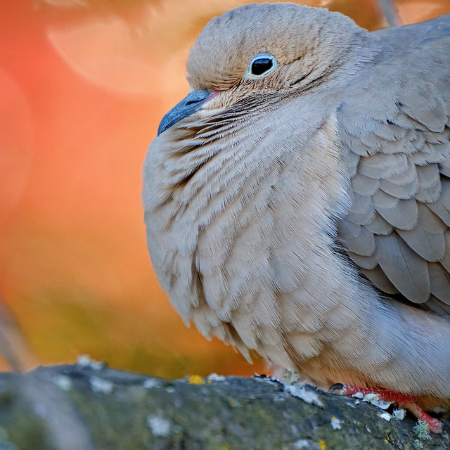 Portrait: Mourning Dove