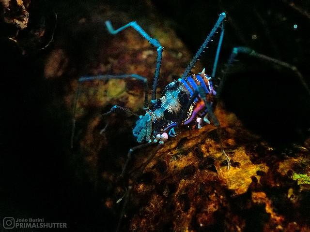 Cranaidae, Phareicranaus arthrocentricus
