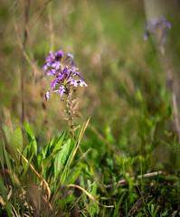 Closeup of Purple ground flowers near Garvin