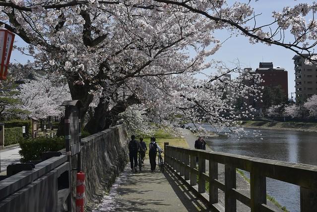 金沢桜満開その4