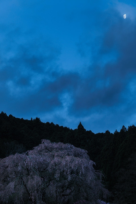 The end of the cherry blossoms under the moon.