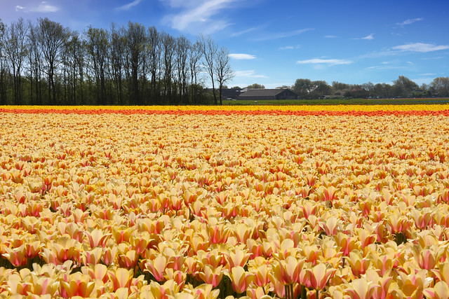 North Holland Bulb Fields