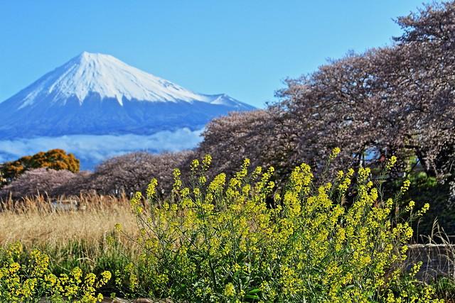 Mt. Fuji & sakura At Ryugenbuchi