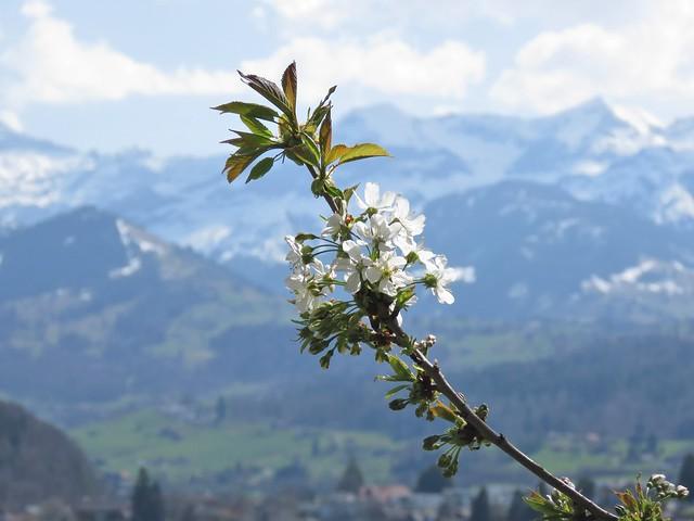 Imeläkirsikka | Süsskirsche | Wild cherry (Prunus avium)