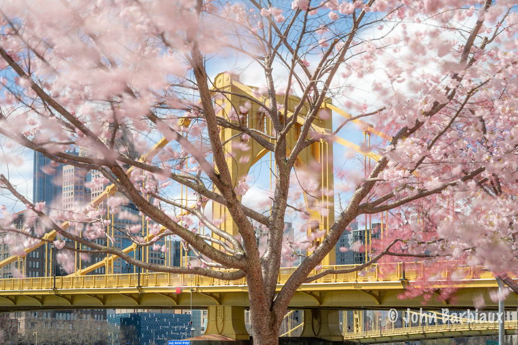 Pittsburgh Cherry Blossoms