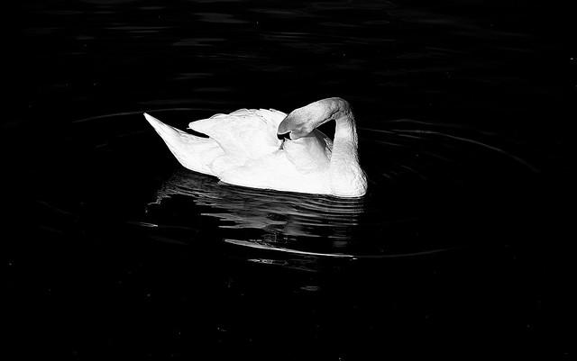 Swan Art..