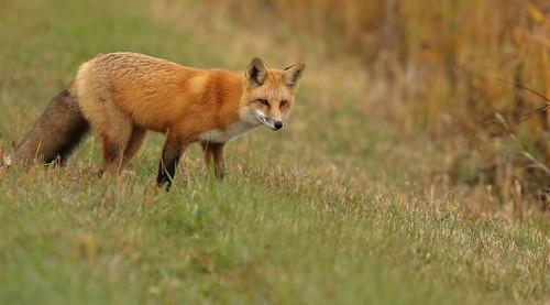 Red Fox...#166