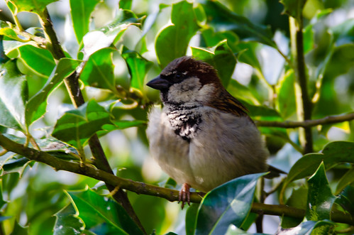 Sparrows on the qv