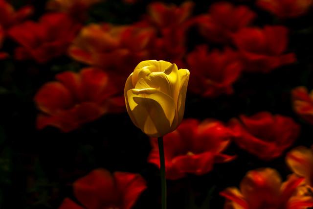 Yellow tulip : 黄色いチューリップ