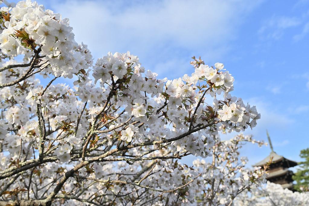 仁和寺の御室花まつり 5