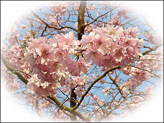 Cherry Blossom Composition ..