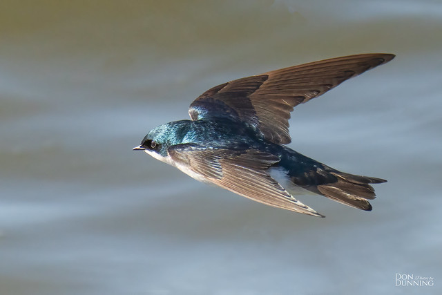 Male Tree Swallow (Tachycineta bicolor)