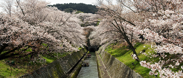 2021 Cherry blossoms 3