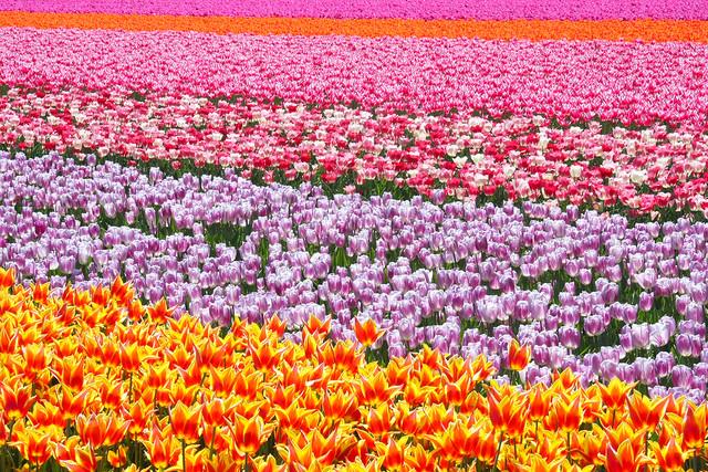 North Holland Tulips