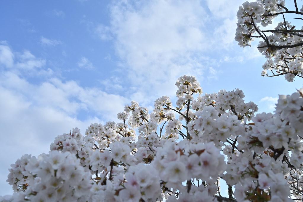 仁和寺の御室花まつり 6