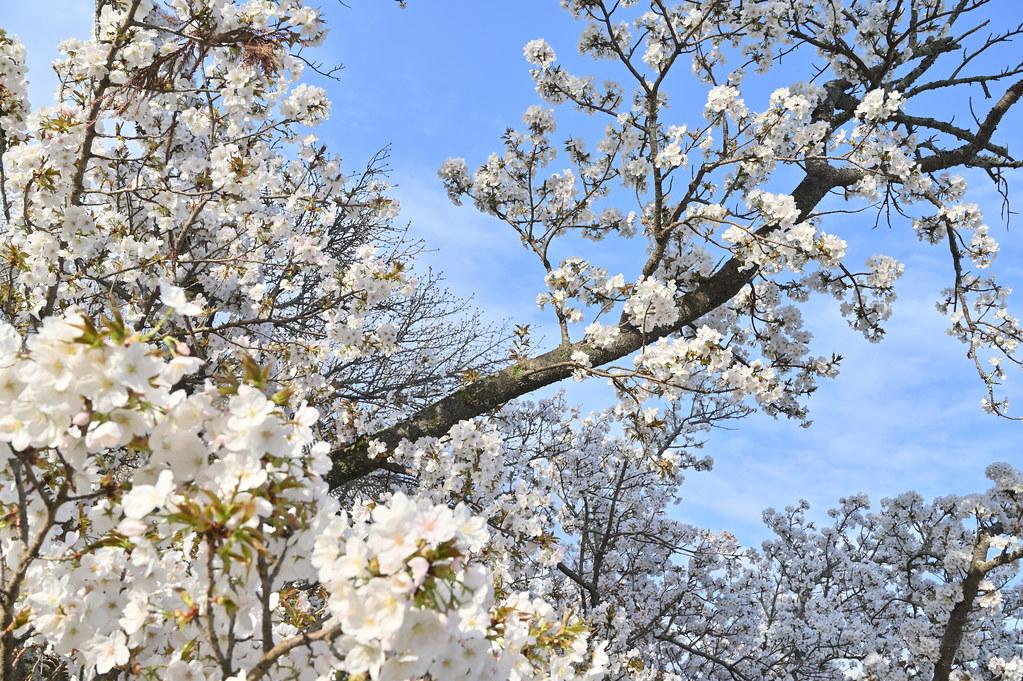 仁和寺の御室花まつり 4