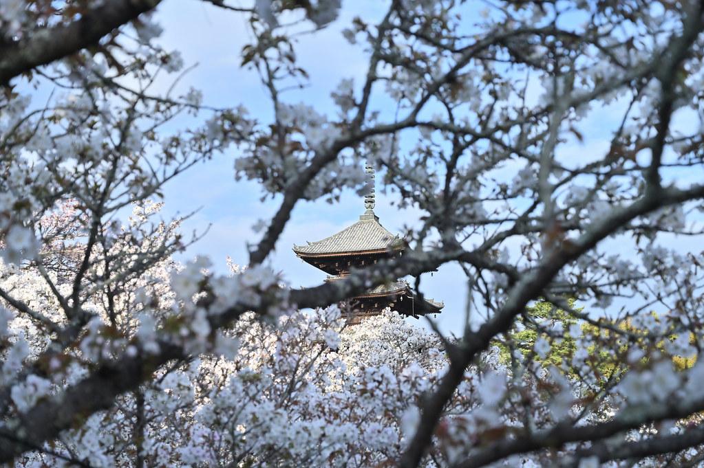 仁和寺の御室花まつり 9