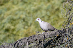 Tourterelle Turque - Eurasian collared Dove - Streptopelia decaocto