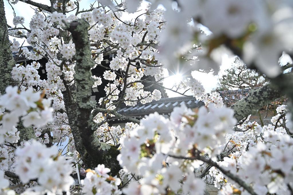 仁和寺の御室花まつり 1