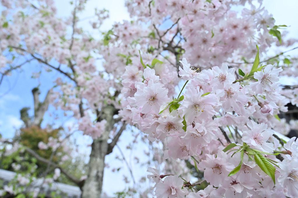 仁和寺の御室花まつり 13