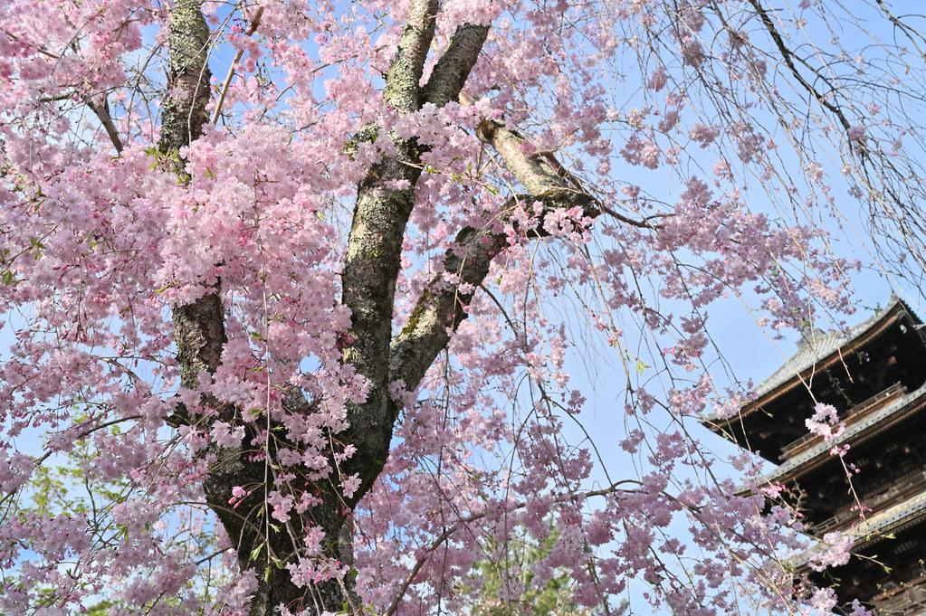 仁和寺の御室花まつり 3