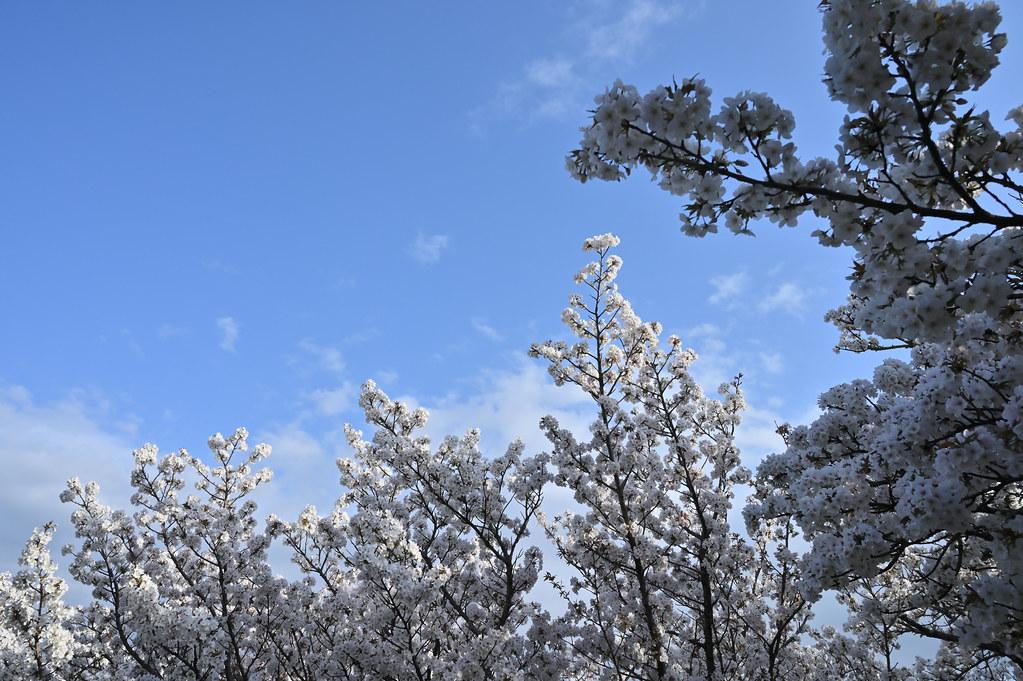 仁和寺の御室花まつり 8