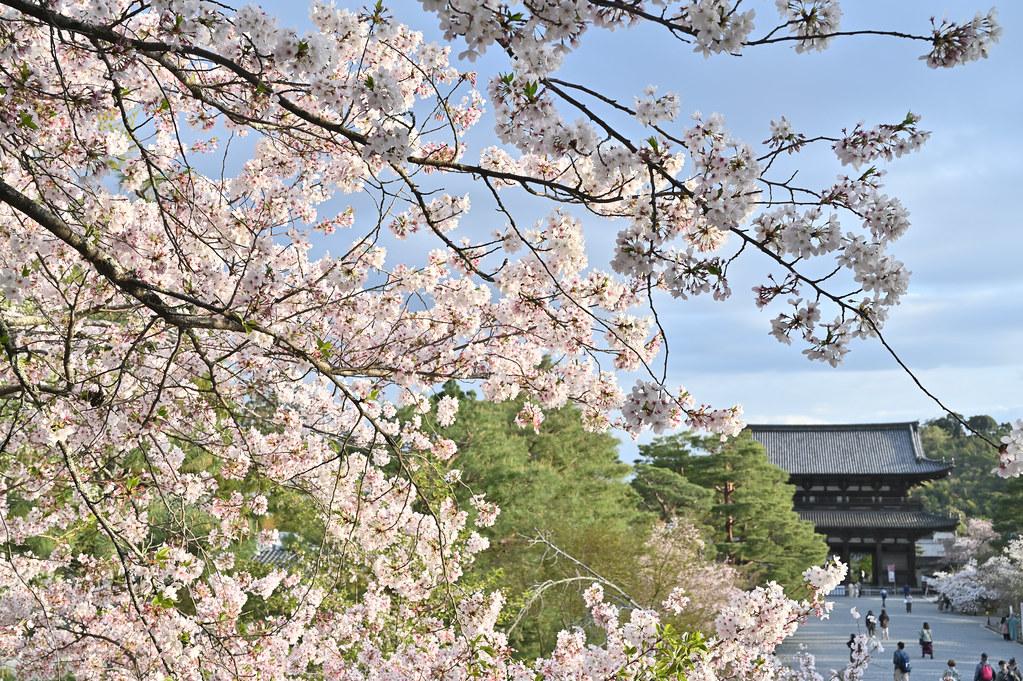 仁和寺の御室花まつり 18